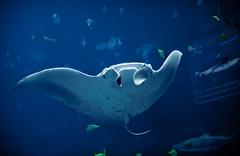 Manta Ray (mjkjr) Tags: blue atlanta fish ga georgia rebel aquarium shark lowlight underwater dof bokeh atl handheld georgiaaquarium canondslr f28 mantaray highiso 2011 1755mm canonlenses sandbarshark 550d t2i clubsi ef1755mmf28isusm 1202011 mjkjr httpwwwflickrcomphotosmjkjr