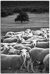Y tu que miras? | What are you looking? (Antonio Carrillo (Ancalop)) Tags: bw españa white black tree blanco field canon arbol spain sheep country negro andalucia bn campo almeria 70200 ovejas 50d chirivel ancalop 70200lusmf4