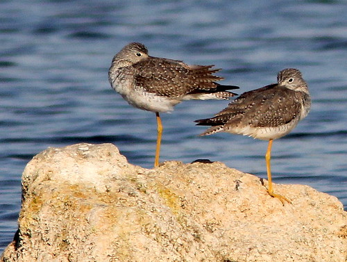 Yellowlegs - prob Greater 20110130