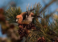 White-winged Crossbill (martytdx) Tags: male birds birding january nj immature longbranch sevenpresidentspark coldashell whitewingedcrossbill loxialeucoptera loxia crossbills fingillidae