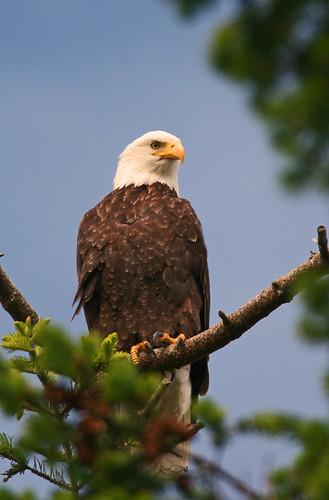Bald eagle-1.jpg