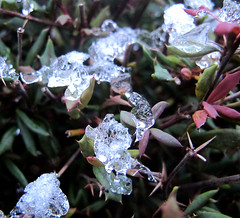0288 ice leaves