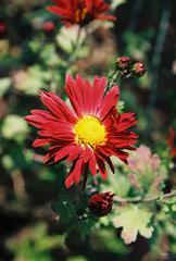 Autumn flower (fejesb) Tags: analog 100 analogue reala eos1n fujicolor