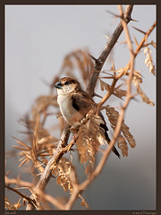 Silverbill (Tharangini) Tags: bird nature canon bangalore perch 100400 silverbill
