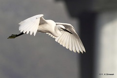 White Egret in Flight..2 (K. Shreesh) Tags: india birds pune naturesfinest bigmomma supershot specanimal eos50d avianexcellence ef400f56l beautifulworldchallenges pregamewinner takenthismonth coepboatclub