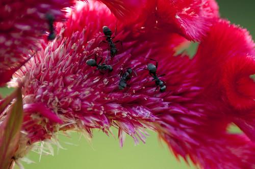 Ants & Celosia