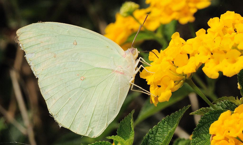 淡黃蝶 Catopsilia pomona