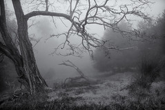 Into the Mist (StefanB) Tags: california morning bw mist tree nature monochrome fog delete9 fav50 outdoor hiking sanjose hike g1 save10 geotag 2011 fav10 1445mm savedbydeletemeuncensored fav25 fav100 almadenquicksilver almadenquicksilvercountypark fav150 flvonmirikr