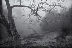 Into the Mist (StefanB) Tags: california morning bw mist tree nature monochrome fog delete9 fav50 outdoor hiking sanjose hike g1 save10 geotag 2011 fav10 1445mm savedbydeletemeuncensored fav25 fav100 almadenquicksilver almadenquicksilvercountypark fav150 flvonmirikr