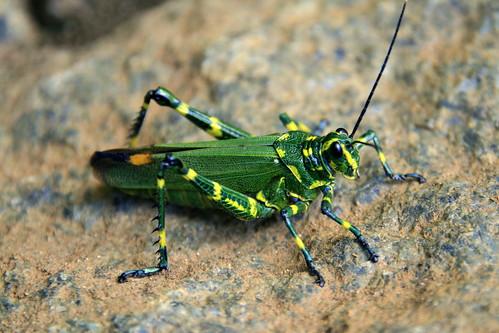 yellow animals brasileiro Chromacris speciosa grasshoppers gafanhoto-bandeira Gafanhoto-soldado insects macro Orthoptera