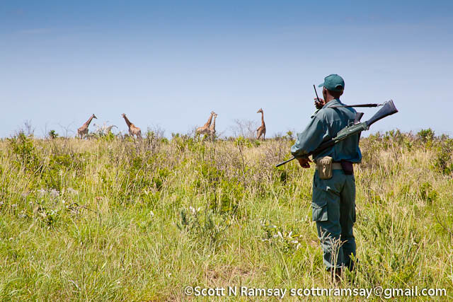 South Africa - KwaZulu Natal - iSimangaliso Wetland Park - A ranger monitors a herd of giraffe