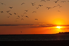 Skimmer Sunset [Explored!] (MurrayH77) Tags: bird beach point wildlife jetty nj skimmer 2ndave skimmers capemaycounty explored mygearandme mygearandmepremium mygearandmebronze mygearandmesilver mygearandmegold