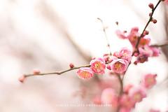 plum-blossoms-web-03 (Ashley Gillett) Tags: plumtree plumblossoms