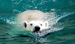 Polar bear (floridapfe) Tags: bear water animal swimming zoo nikon korea polarbear polar everland 에버랜드 d80 artistoftheyearlevel2