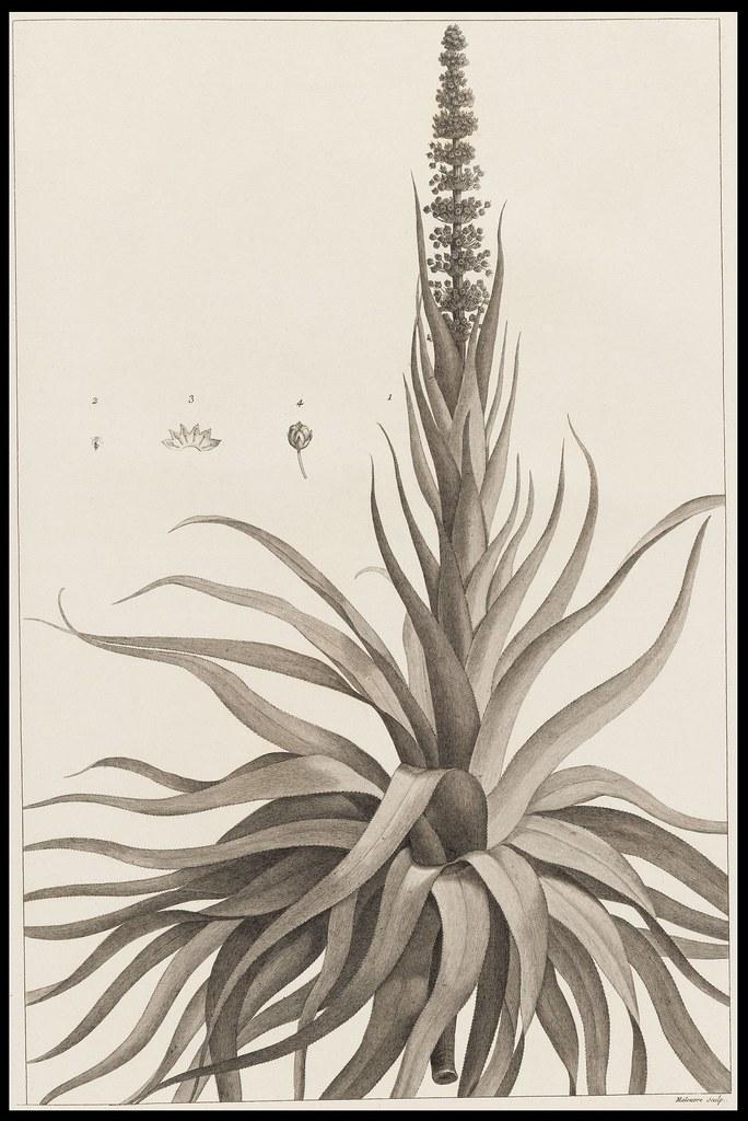 Dracophyllum verticillatum