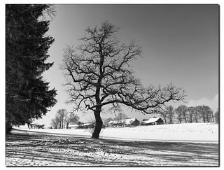 Winter-Eiche