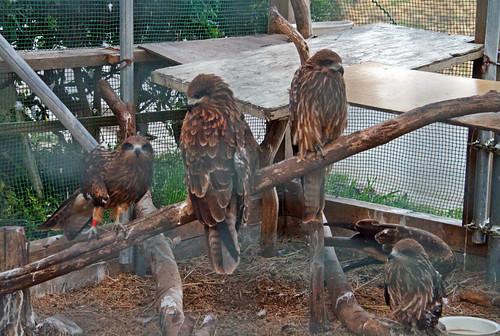 Aguilas convalecientes