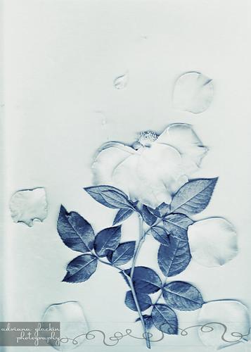 Scanograph Rose II
