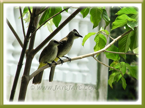 Parents-to-be: Pycnonotus goiavier (Yellow-vented Bulbul) on guard duty at our frontyard