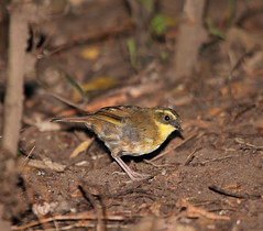 Yellow-throated Scrubwren (boombana) Tags: sydney australia nsw royalnationalpark australianbirds 2011 scrubwren sericornis wattleforest sericorniscitreogularis yellowthroatedscrubwren