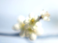 Spring haze ;  (Marie Eve K.A. (Away)) Tags: white blur flower macro nature japan closeup kyoto soft dof bokeh f14 85mm olympus  plumtree  plumblossom planar earlyspring ep2  carlzeiss   kitanotenmangshrine