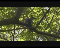 Calocitta formosa (White-throated Magpie-Jay) (Arthur Chapman) Tags: video costarica formosa calocittaformosa jac jacobeach playajac taxonomy:order=passeriformes taxonomy:class=aves taxonomy:kingdom=animalia taxonomy:phylum=chordata calocitta taxonomy:family=corvidae geocode:accuracy=1000meters geocode:method=googleearth geo:country=costarica taxonomy:binomial=calocittaformosa taxonomy:common=whitethroatedmagpiejay geo:region=centralamerica taxonomy:genus=calocitta whitethroatedmagpoiejay