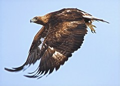 Golden (SomewhereOutside) Tags: wildlife wyoming goldeneagles pinedale somewhereoutside rapors douglasmccartney