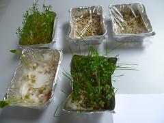 Semi in germinazione e piantine in crescita