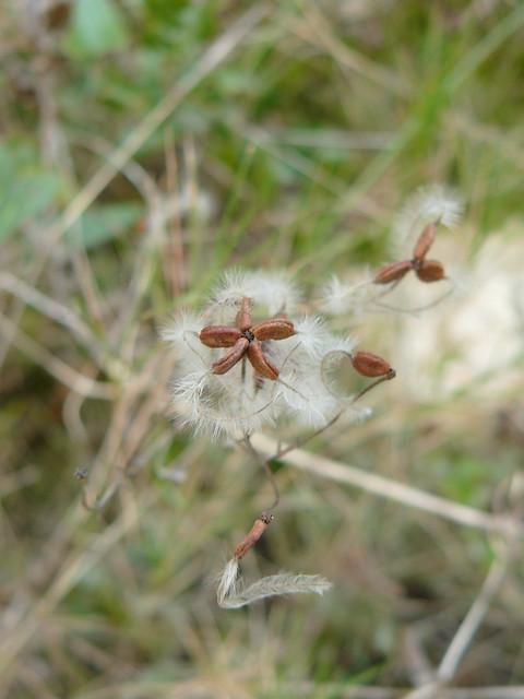 hairy seed