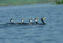 Great Cormorants (Phalacrocorax carbo) swimming in a freshwater lake in southern Bangladesh (Sanjeed (NatureLover)) Tags: canon excellent jps naturelover blr exoticanimals eos50d ef400mmf56l bdphtgrphrs officialnatgeo naturephgrphy highqltynature framebd