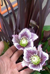 Helleborus purple spotted with flax
