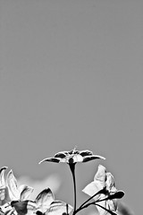 The Sky Is The Limit (Ryan Diaz) Tags: sky blackandwhite orchid flower up canon eos rebel 75300mm lightroom xti