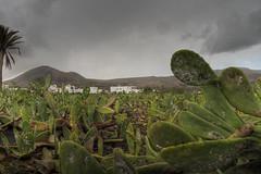 Lanzarote Opuntia