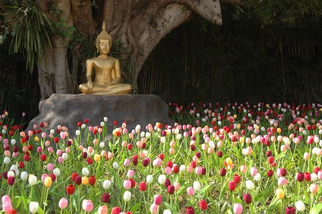 Tulip field at Wat Phan Tao temple, Chiang Mai, Thailand