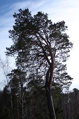 IMG_9599 (Tornny) Tags: sea sky beach pine forest canon spring sand dunes dune bluesky natura latvia riga balticstates thebalticsea латвия whitedune canon450d baltakapa белаядюна