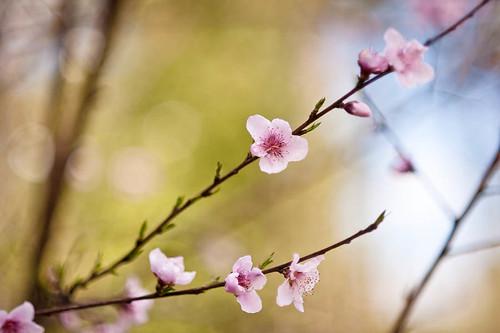 PeachBlossom2011