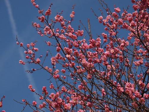 Prunus mume 'Peggy Clarke'