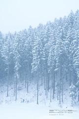 A vertical view (Sybren A. Stvel) Tags: trees winter holiday snow vertical austria tirol oostenrijk vakantie sterreich bomen sneeuw kirchberg skivakantie wintervakantie vertikaal kirchbergintirol