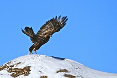 Tippy Talons (SomewhereOutside) Tags: wildlife wyoming eagles goldeneagles pinedale somewhereoutside douglasmccartney