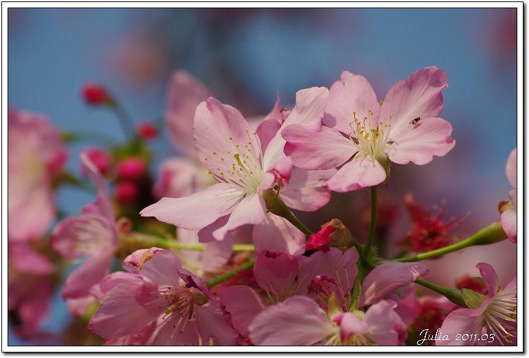 櫻花 (9)