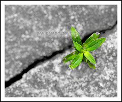 Perseverance (DavidMadden) Tags: life road old plants green abandoned broken nature grass leaves concrete weeds force natural pavement decay gray cement grow ground surface victory crack foliage sidewalk growth walkway drought triumph strong opening strength growing difficult rough determined asphalt tread tough trials survival herb struggle struggling tenacity perseverance vigor adversity hardship stubbornness macroflowerlovers