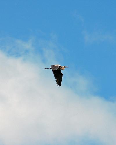 Pelicano Pardo