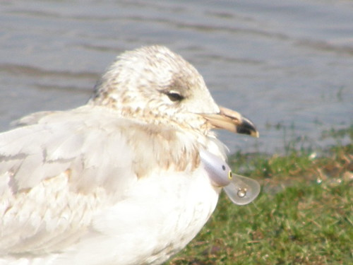 Ring-billed Gull with lure attached