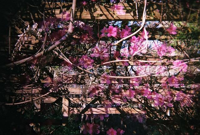 the flowers on the trellis
