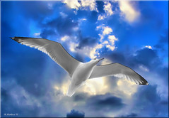 Bird and Sky (2D) (starg82343) Tags: sky white bird clouds outside outdoors fly flying md seagull gull brian flight maryland wallace pasadena waterfowl winged soar feathered brianwallace