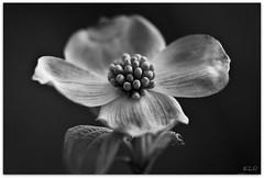 Dogwood in Black and White (Lane Rushing) Tags: blackandwhite flower macro grandmother dogwood shallowdof bigmomma storybookwinner pinmar11 motmjul11