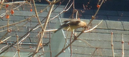 wentworth viburnum and cedar waxwing