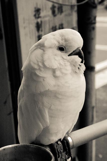 Parrot/IR...後來牠把我外套拉鏈咬壞了