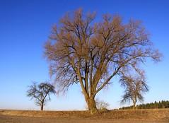 (:Linda:) Tags: germany three weide village bluesky thuringia blauerhimmel baretree willowtree weidenbaum schackendorf vorfrhling prespring wolkenloserhimmel nackterbaum
