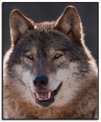 Peyto - Portrait Of A Wolf. (Phil Dodd CPAGB BPE1*) Tags: wildlife wolves canon70200mmf4l dapagroup animalportraiture dapagroupmeritaward dapagroupmeritaward3 dapagroupmeritaward2